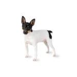 Petland Heath, OH Toy Fox Terrier