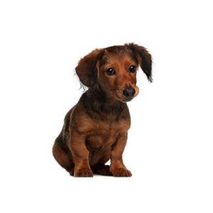 Dachshund Puppies Visit Petland In Heath Columbus Ohio