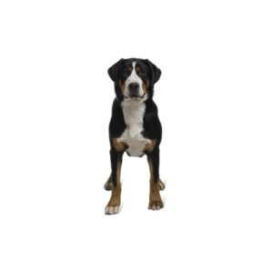 great-swiss-mountain-dog