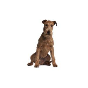 irish-terrier