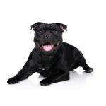 Petland Heath, OH Staffordshire Bull Terrier