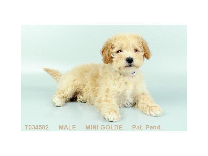 Mini Schnauzer Dog Male Chocolate Merle 2345607 Petland Heath Oh