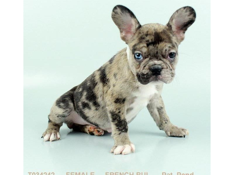 French Bulldog-DOG-Female-FN & BLK:SPTD-2302823-Petland