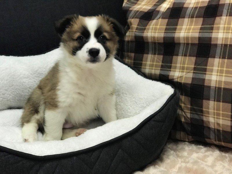 Aussie Mo Dog Male Sable White 2296846 Petland Heath Oh