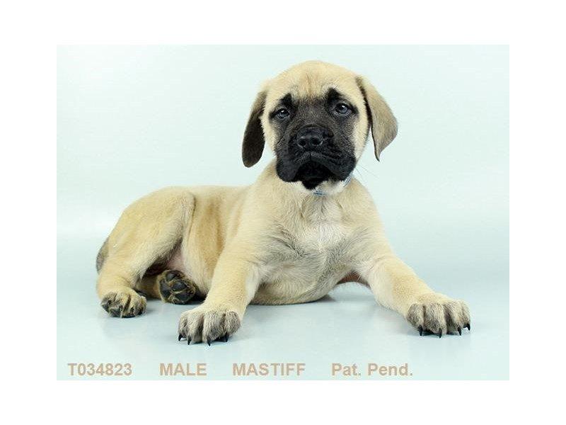 English Mastiff Dog Male Fn Blk Msk 2308379 Petland Heath Oh