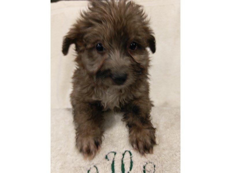 Mini Aussie Poo Dog Female Choc Merle 2345523 Petland Heath Oh