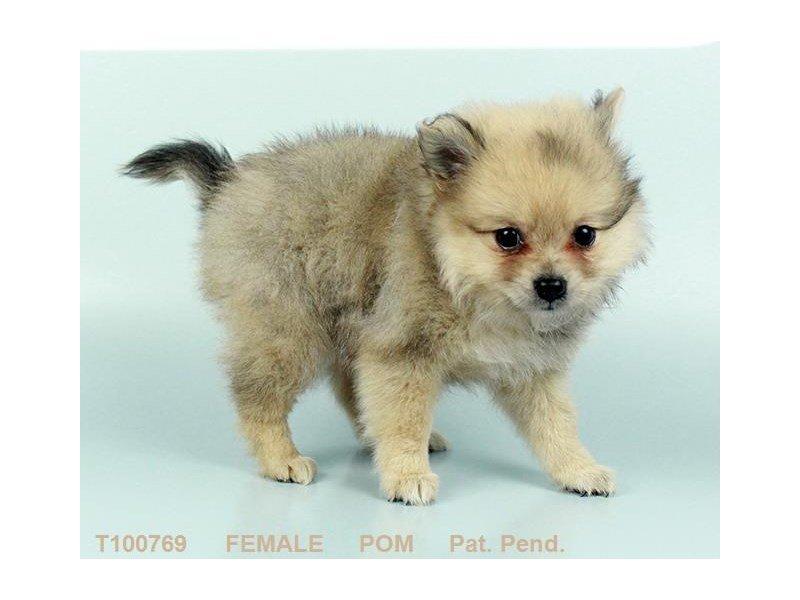 Pomeranian-DOG-Female-CR SBL-2340323-Petland Heath, OH