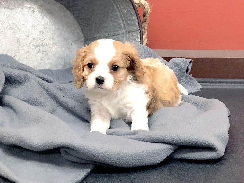 Cavalier King Charles Spaniel Dog Male Blenheim 2350995 Petland