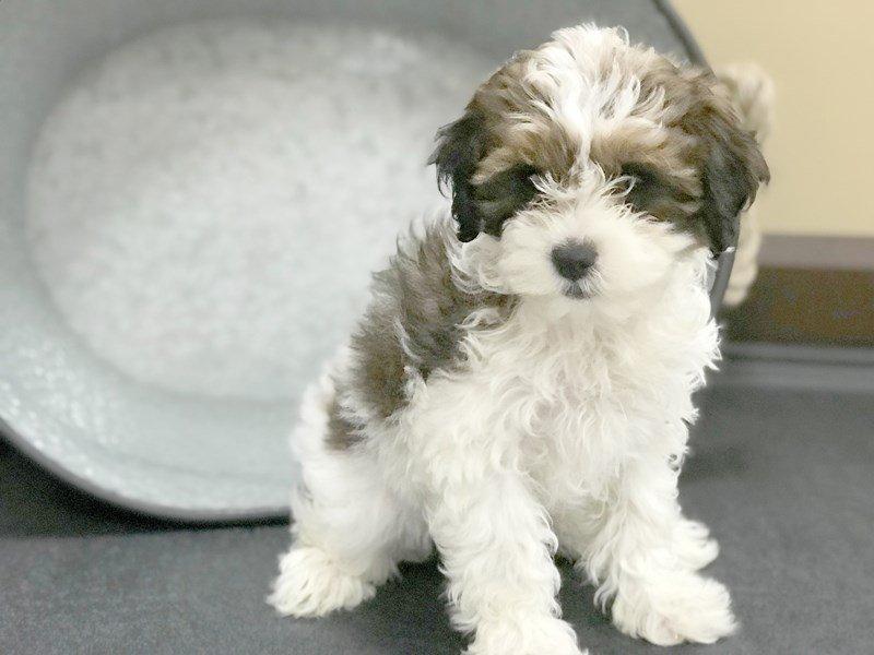Shih Poo Dog Female Choc White 2340028 Petland Heath Oh