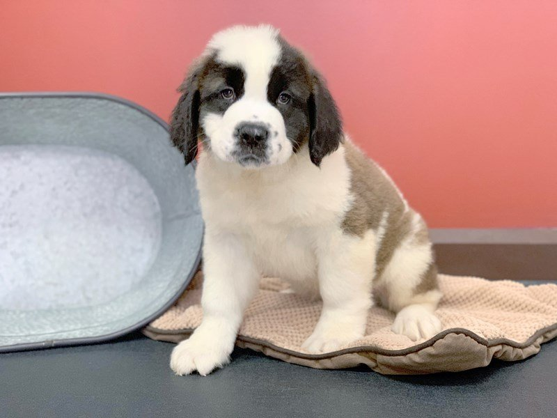 Saint Bernard Dog Male Sable White 2361872 Petland Heath Oh