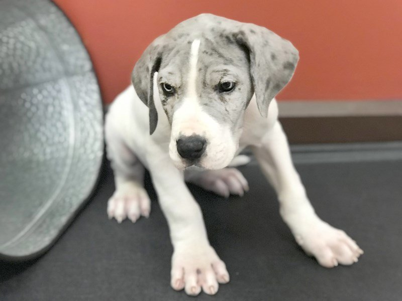 Great Dane Dog Male Blue White 2361651 Petland Heath Oh