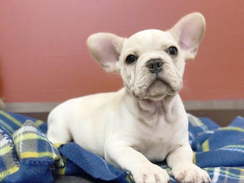 French Bulldog-Male-White and Cream-2381663-Petland Heath, OH