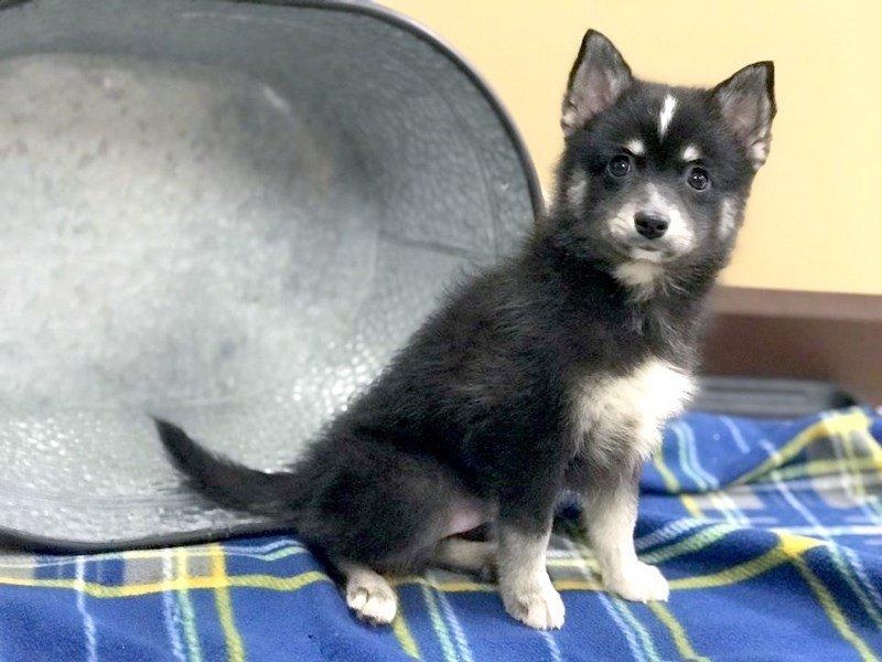 Pomsky Dog Male Black White 2405241 Petland Heath Oh