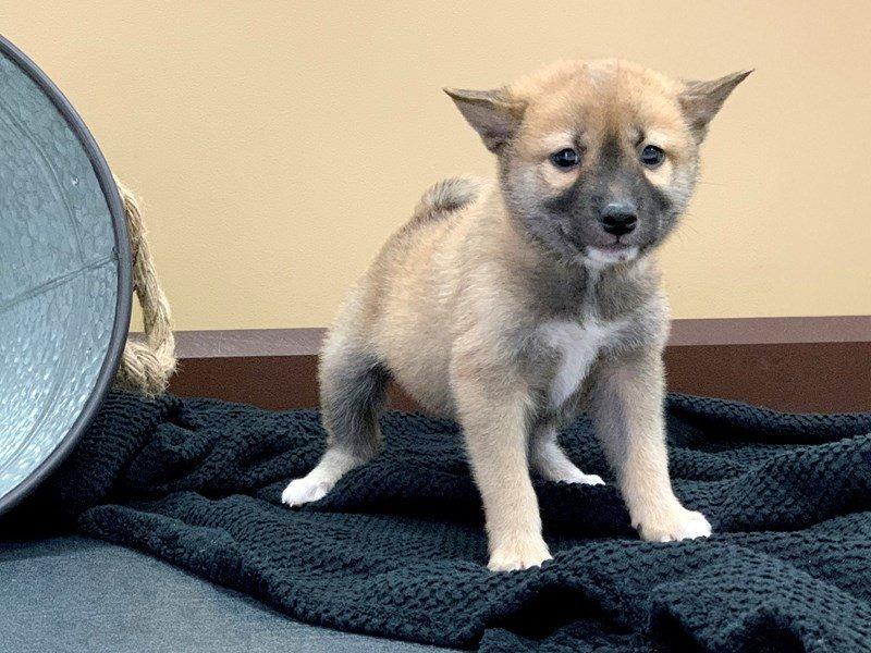 Shiba Inu Dog Male Red White 2408597 Petland Heath Oh