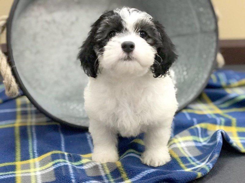 Teddy Bear Dog Female Black White 2402564 Petland Heath Oh