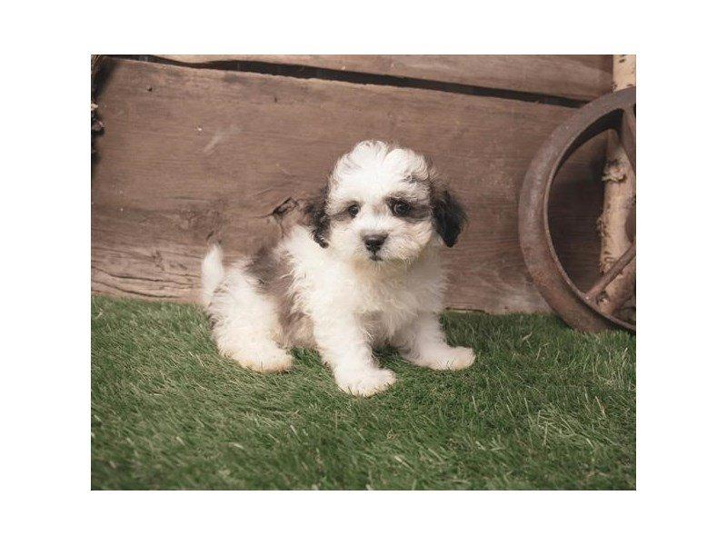 Teddy Bear Dog Male Gold White 2409687 Petland Heath Oh