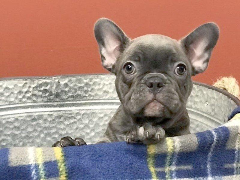 French Bulldog-Female-BLUE-2457277-Petland Heath, OH