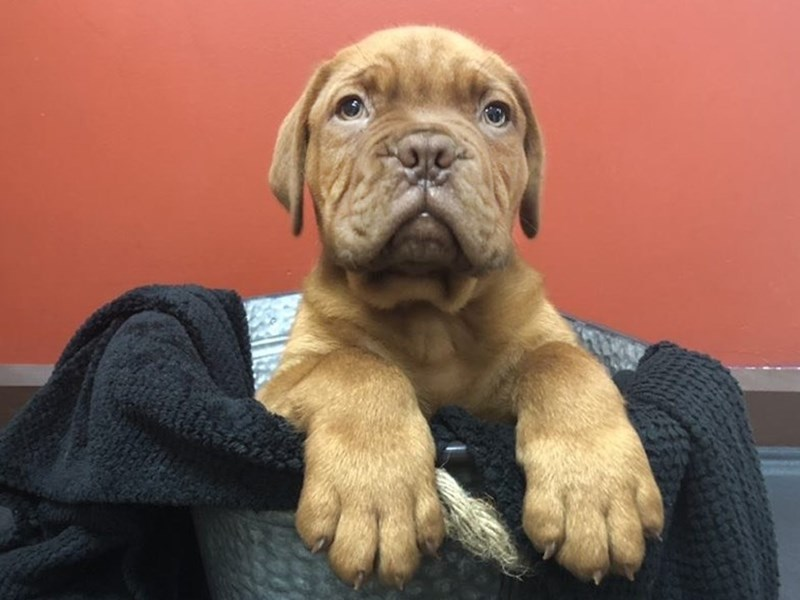 Dogue De Bordeaux-Male-red-2507206-Petland Heath, OH