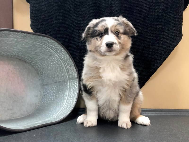 Aussie Mo Dog Male Blue Merle 2537144 Petland Heath Oh