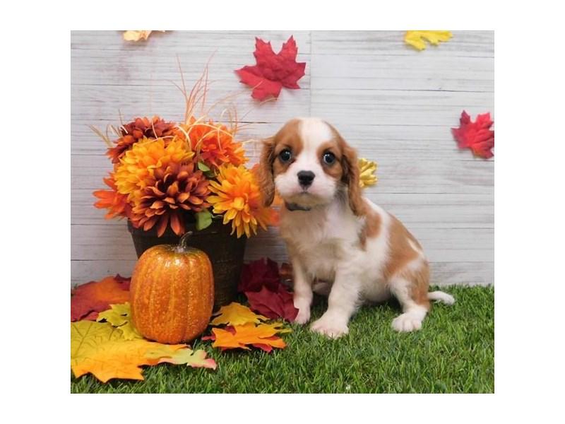 Cavalier King Charles Spaniel Dog Male Blenheim 2524849 Petland