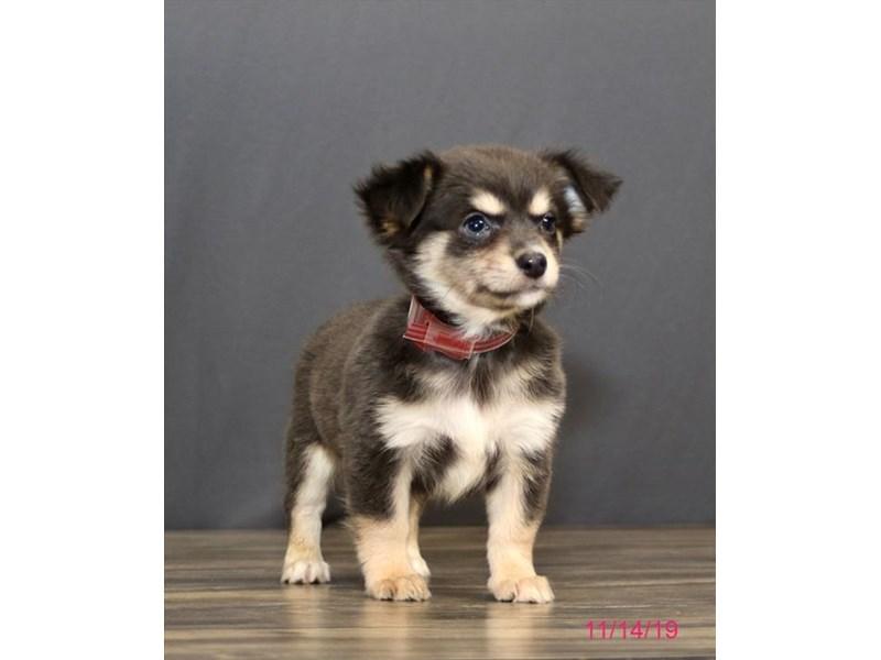 Chihuahua Dog Female Blue 2532530 Petland Heath Oh