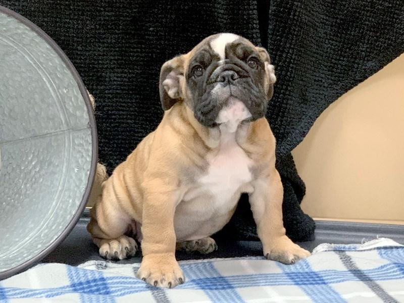 English Bulldog Dog Female Fawn 2534933 Petland Heath Oh
