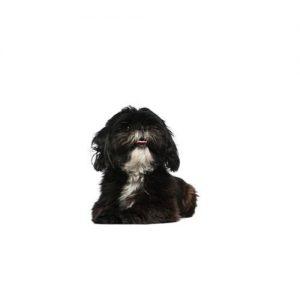Affenpinscher Puppies Petland Heath Oh