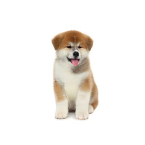 Akita Puppies Petland Heath Oh