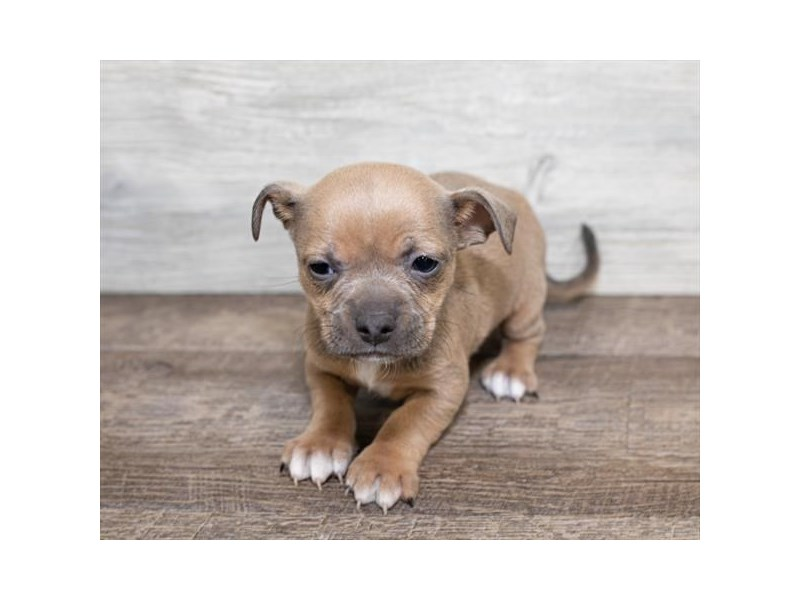 Chiweenie Dog Female Blue Fawn 2590715 Petland Heath Oh