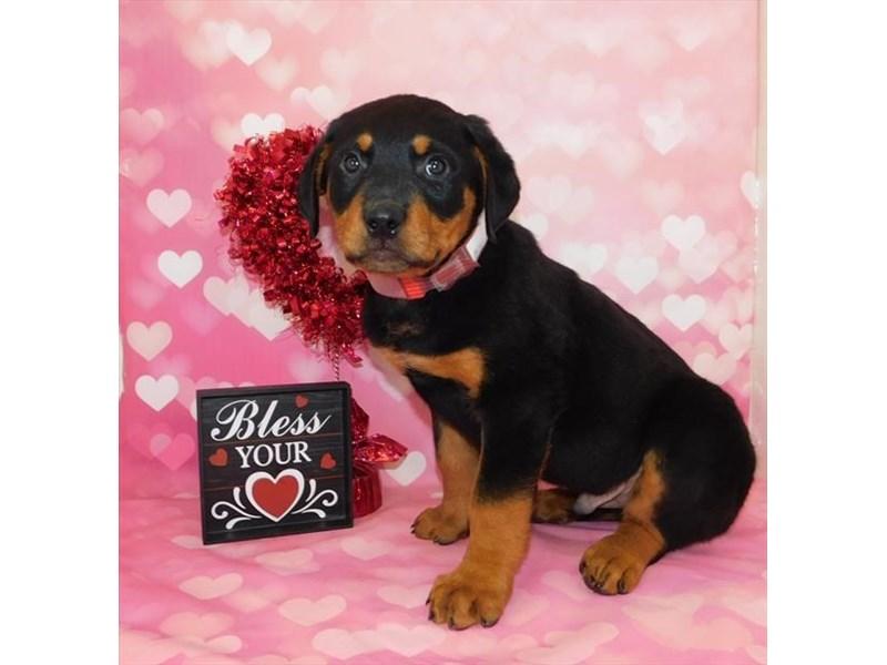 Rottweiler-Male-Black / Mahogany-2628166-Petland Heath, OH