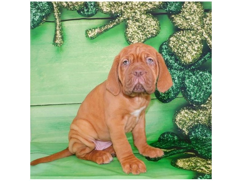 Dogue De Bordeaux-Female-Red-2650656-Petland Heath, OH