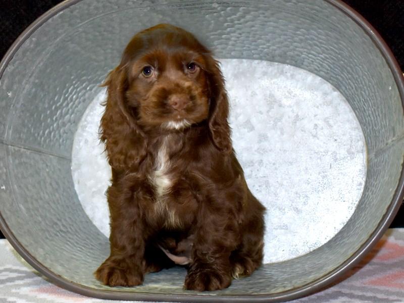 Cocker Spaniel Dog Female Choc 2661258 Petland Heath Oh