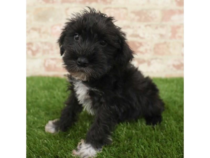 Miniature Schnauzer Puppies Petland Heath Oh