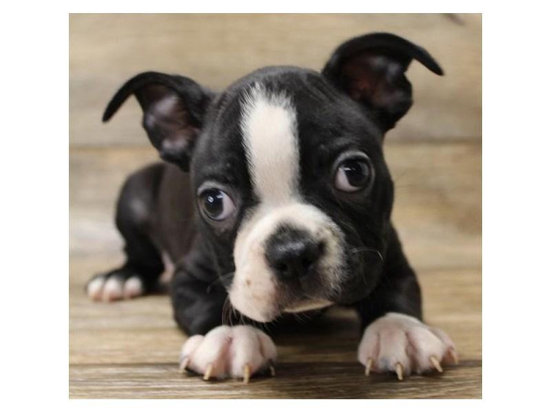 Boston Terrier-Male-black and white-2744433-Petland Heath, OH
