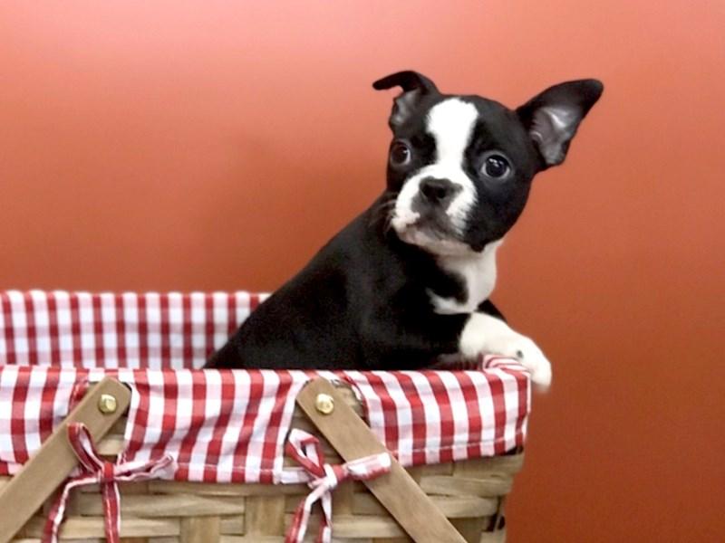 Boston Terrier-Female-black and white-2771796-Petland Heath, OH