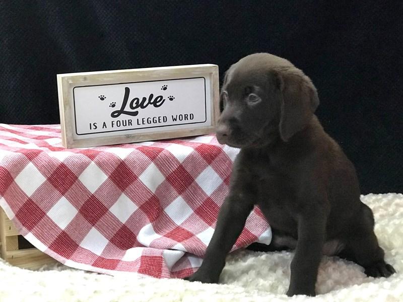 Labrador Retriever Dog Female Black 2345919 Petland Heath Oh
