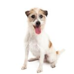 Petland Heath, OH Jack Russell Terrier